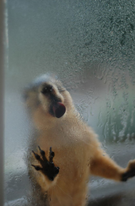 Window licking squirrels for Ron Paul!
