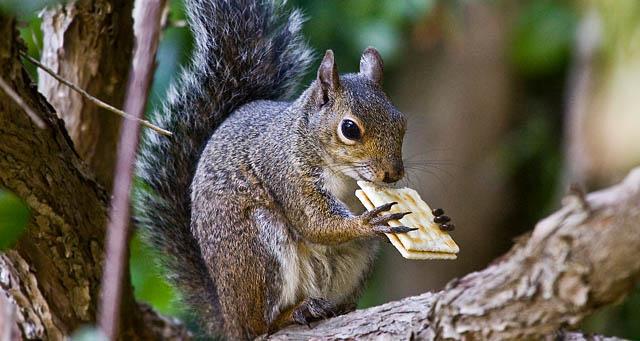 squirrel_eating_cracker